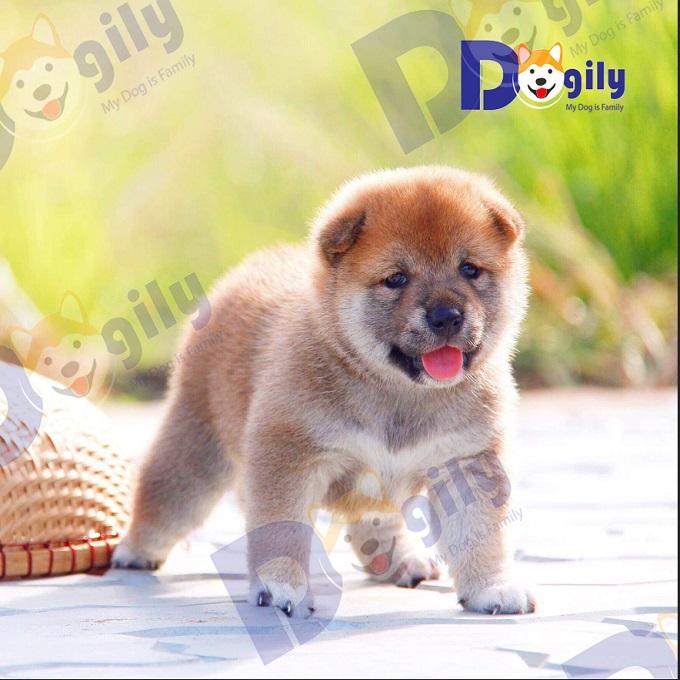 Ảnh: một bé Shiba Inu 2 tháng tuổi chất lượng được bán ra tại hệ thống Dogily Petshop.