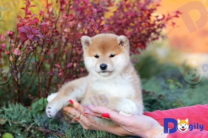 Ngoài chó Shiba Inu nhập châu Âu hoặc Thái Lan. Nguồn chó Shiba nhập từ các nước Đông Á như Đài Loan hay Hàn Quốc cũng rất chất lượng.