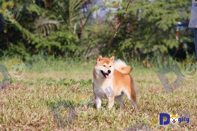 Tano, chú chó Shiba đực giống nhập Nhật Bản tại trang trại thuộc hệ thống Dogily Petshop. Là bố của nhiều đàn chó con chất lượng.