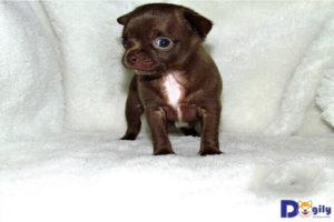 Giá chó chihuahua phụ thuộc nhiều nhất vào kích thước (cỡ size).