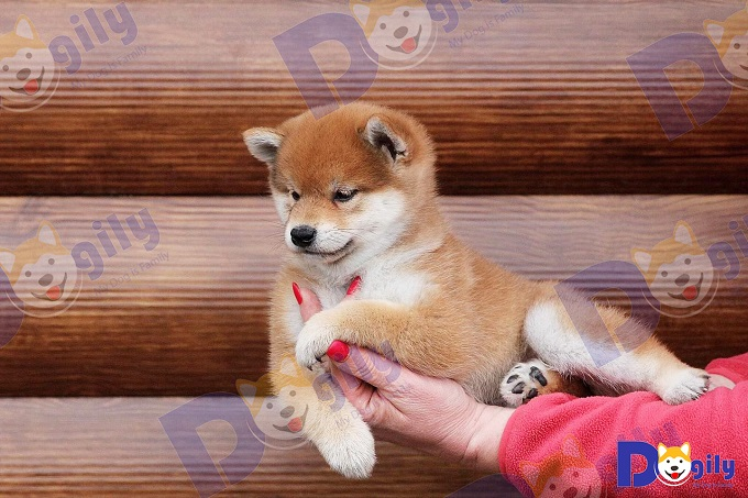 Giá chó Shiba Inu nhập khẩu từ châu Âu tối thiểu 2.500 Usd trở lên.