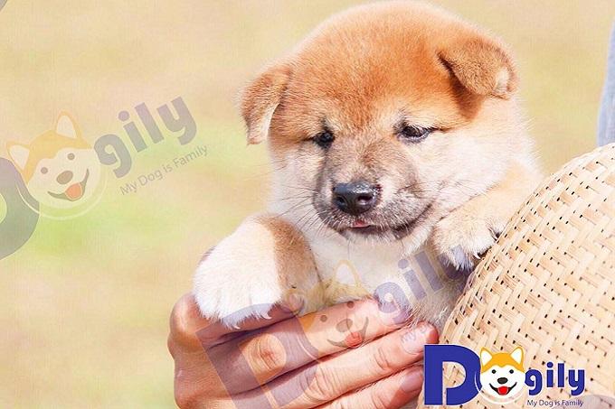Giá chó Shiba Inu Nhật Bản đang bán tại Dogily Petshop Tphcm và Hà Nội.