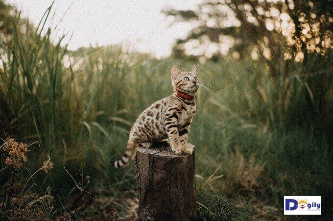 Dogily hiện nay có hệ thống của hàng, trang trại cả ở Hà Nội và Tphcm. Vì vậy bạn có thể dễ dàng trực tiếp lựa chọn mua mèo Bengal sẵn có.