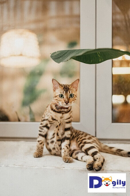 Hình ảnh một chú mèo Bengal con 4 tháng tuổi khi  mới về Dogily Cattery. Sống chung cùng gia đình trong phòng ngủ, phòng khách và mọi nơi chú có thể tiếp cận đến.