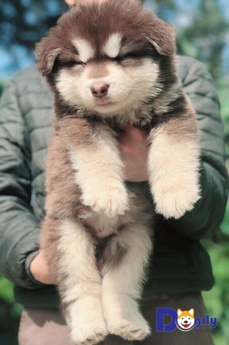 Tất cả đều màu nâu đỏ. Mua bán hợp đồng rõ ràng, kèm sổ tiêm chủng, hướng dẫn chăm sóc chó Alaska con.