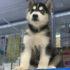 Kinh nghiệm mua bán chó Husky thuần chủng, giá rẻ tại Tphcm và Hà Nội | Chia sẻ từ Dogily Kennel