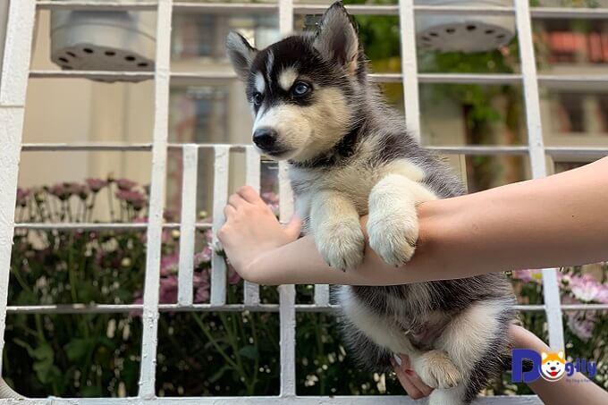 Bạn cần quan sát kỹ hành vi của chó Husky con khi chọn mua. Để phát hiện tật lỗi về sức khỏe và tính cách.