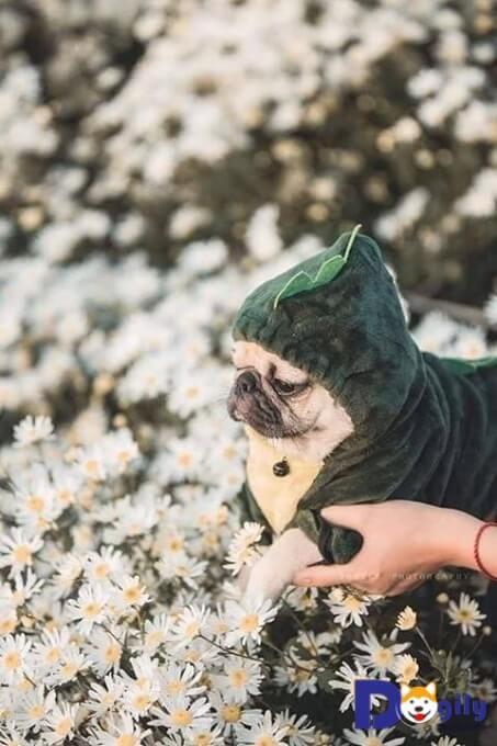 Chó Pug giữa rừng cúc họa mi