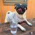Tổng hợp các hình ảnh chó Pug cực ngộ nghĩnh và đáng yêu