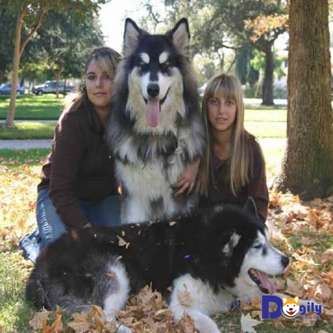 Chó Alaska giant có mắt màu nâu và đen