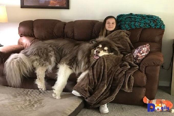 Chó Alaska gian có trọng lượng có thể lên đến 80 kg