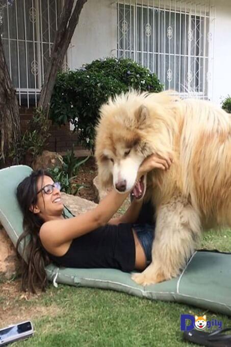 Chó Alaska giant thay lông 2 lần/năm.