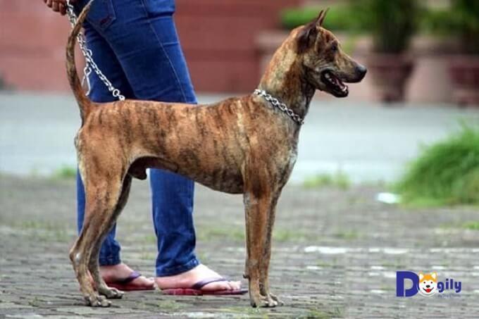 Cần chú ý đến những đặc điểm nào để nhận biết chó Phú Quốc?