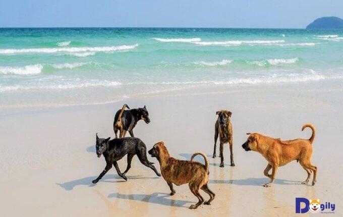 Chó Phú Quốc có tập tính bán hoang dã. Hình trên: các chú chó Phú Quốc nô đùa trên biển tại Đảo Ngọc Phú Quốc.