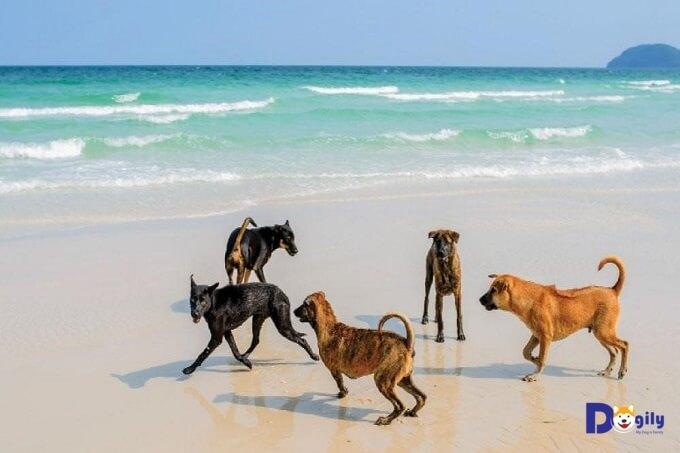 Chó Phú Quốc – Thần khuyển của vua Gia Long