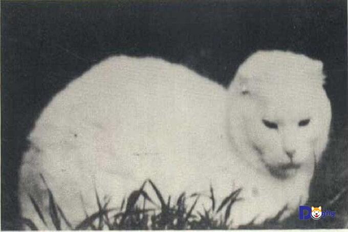 Hình ảnh cô mèo tên Susie. Thủy tổ của mèo Scottish Fold tai cụp ngày nay.