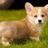 Chia sẻ bí kíp nuôi chó Corgi ngay từ khi còn nhỏ