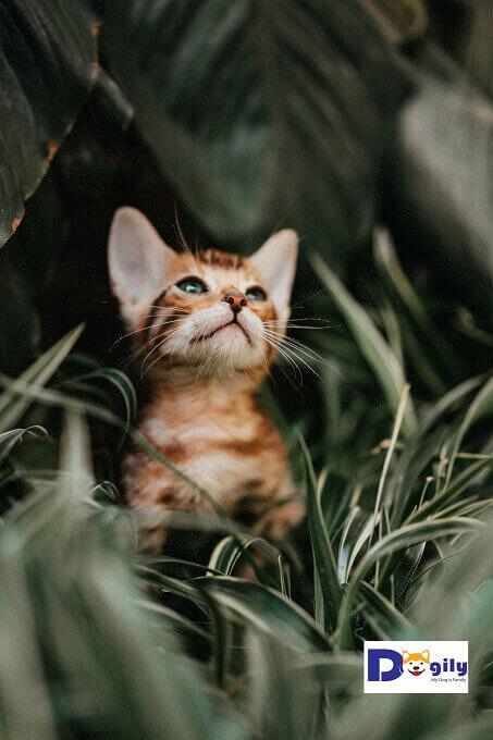 Hãy để mèo Bengal con thật sự thoải mái khi về nhà bạn. Để nó coi ngôi nhà của bạn như là một tổ ấm vĩnh viễn của nó vậy.