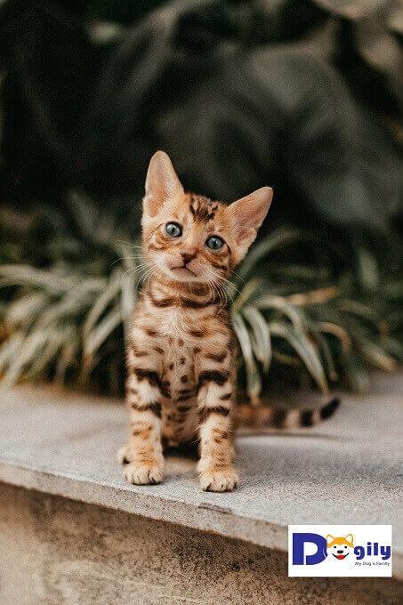 Đây là đàn mèo Bengal cực đẹp. Màu sắc rõ nét đáng yêu. Bố nhập khẩu Nga cực kỳ nổi tiếng tại Việt Nam là Solomon.