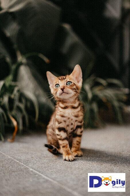 Bán mèo Bengal con sinh ngày 20.11.2018. Mẹ là Beo, bố là Solomon nhập khẩu Nga.