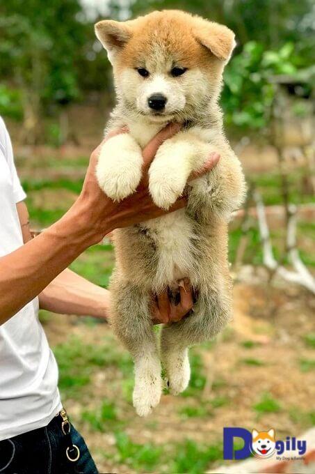 Ảnh đàn chó Akita Inu tháng 2 cực bụ bẫm và đáng yêu