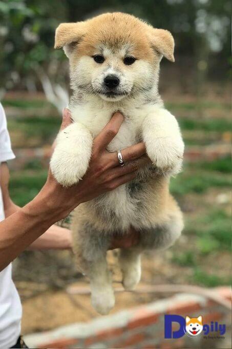 Mua chó Akita Inu tại Dogily Petshop có hợp đồng mua bán rõ ràng, giấy bảo hành và hướng dẫn chăm sóc chó con. Bảo hành sức khỏe 15 ngày, free Ship toàn quốc. Tư vấn chăm sóc, dinh dưỡng trọn đời.