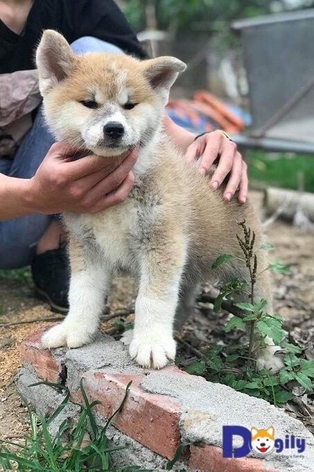 Mới chỉ 2 tháng tuổi nhưng đã bộc lộ được gần hết vẻ đẹp của giống chó Akita Inu - Quốc khuyển của xứ phù tang