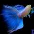 Cá Bảy Màu Blue Topaz – viên ngọc trong bể kính