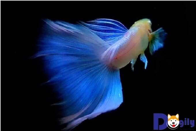 Cá Bảy Màu Blue Topaz có rất nhiều ưu điểm nổi bật