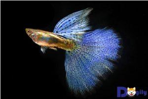 Cận cảnh vẻ đẹp không điểm chê của Cá Blue Grass