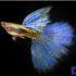 Mê mẩn với Cá Bảy Màu Blue Grass