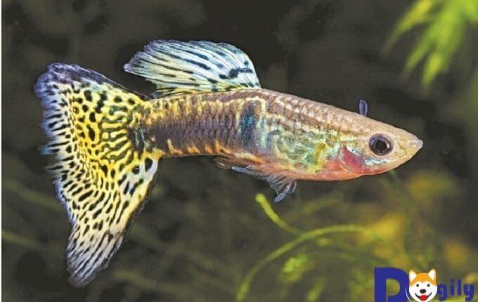 Cá bảy màu con là loài cá dễ nuôi được giới chơi cá cảnh yêu thích và lựa chọn nuôi nhiều