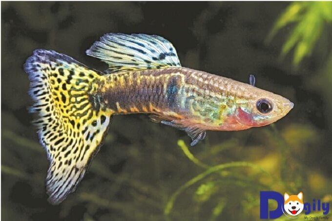 Cách nuôi cá bảy màu con như thế nào?