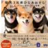 Bấn loạn cùng hội ba anh em chó Shiba đến từ Nhật Bản