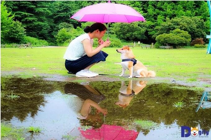 Chú chó Shiba Daifuku và cô chủ Goto