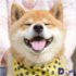 """"""" Thánh biểu cảm """" của xứ sở Hoa anh đào – chú chó Shiba Inu vui tính, đẹp trai"""
