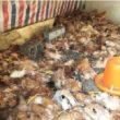 Husky tàn sát hơn 600 con gà trong 1 đêm