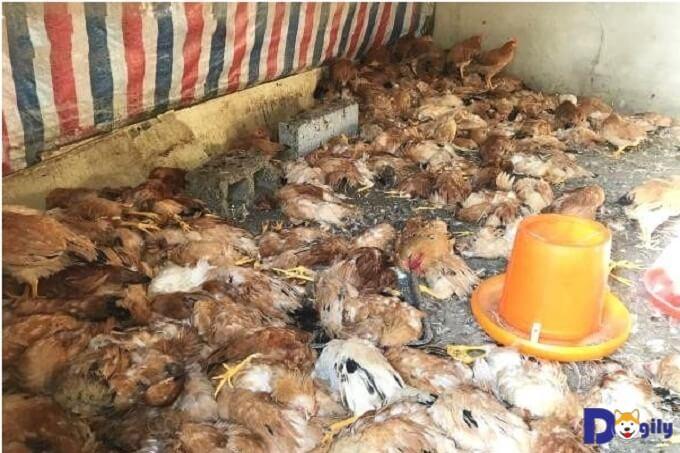 Hơn 600 con gà bị tàn sát trong đêm bởi chú chó Husky