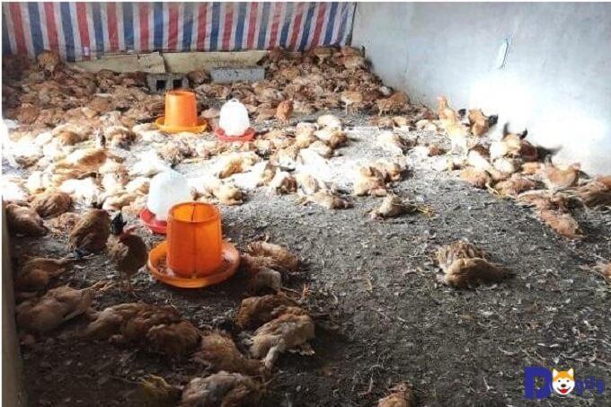Gà chết la liệt trong trại gà ở Trung Quốc do Husky sát hại