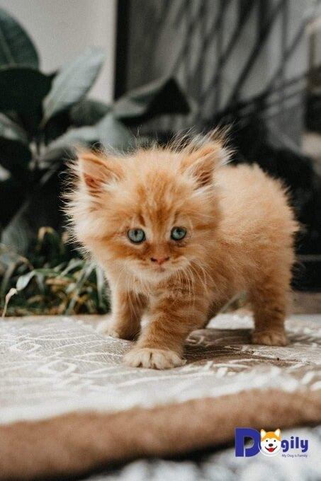 Giá mèo Anh lông dài phụ thuộc vào nhiều yếu tố như: độ tuổi, giới tính, ngoại hình, nguồn gốc xuất xứ...