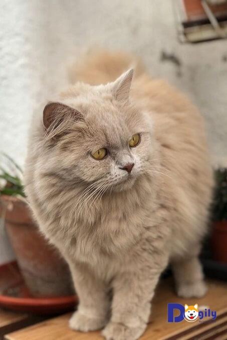 Thật trớ trêu, cho tới nay giống mèo Anh lông dài vẫn chưa được công nhận chính thức tại quê hương Vương quốc Anh. Có lẽ do tính bảo thủ của người Anh không chấp nhận một phiên bản mới từ mèo Anh lông ngắn.
