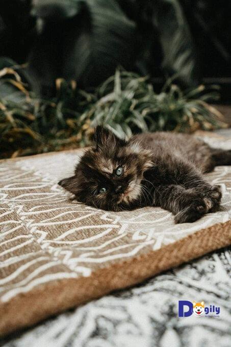 Chú mèo ALD đen nhà Dogily