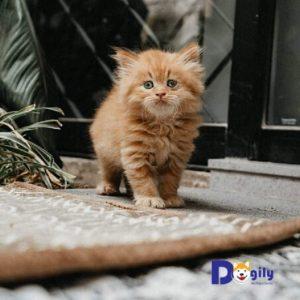 Bán đàn mèo anh lông dài ald cực đẹp đủ màu vàng, trắng đen tại Dogily Petshop Hà Nội và Tphcm.