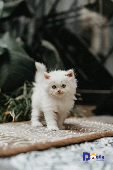 Chú mèo ALD với bộ lông trắng như tuyết nhà Dogily