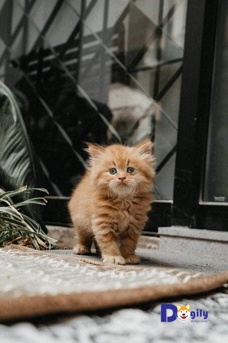 Bán mèo Anh lông dài tại Dogily Petshop