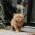 Mèo anh lông dài (mèo Ald) |  Giá mua bán mèo anh lông dài bao nhiêu tại hà nội, tphcm
