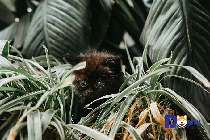 Bạn có thể mua mèo ALN tại các điểm bán của Dogily Petshop tại Hà nội và Tphcm, mua online hoặc trực tiếp tại trang trại Dogily Kennel