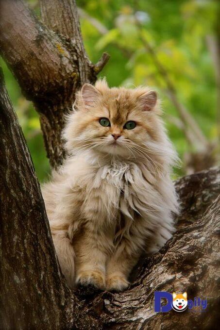 Trên thực tế mèo ALD là một phiên bản của mèo Anh lông ngắn (mèo ALN). Tất cả tiêu chuẩn cả hai giống nhau, chỉ khác chiều dài bộ lông.