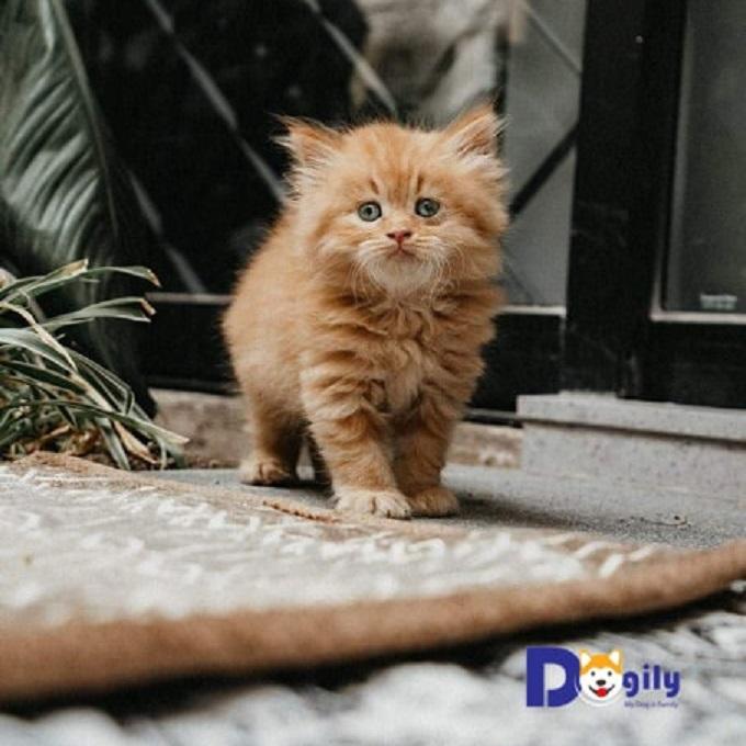 Mèo Anh Lông Dài – Mở bán đàn mèo Anh lông dài tháng 1 ( Mã số : 2019112 ALD)
