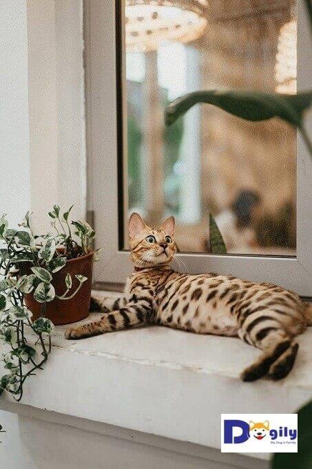 Kể cả nuôi trong nhà. Bạn cũng luôn cần cho mèo Bengal được tiếp xúc thường xuyên với ánh sáng tự nhiên. Cũng như có một môi trường sống sạch sẽ.